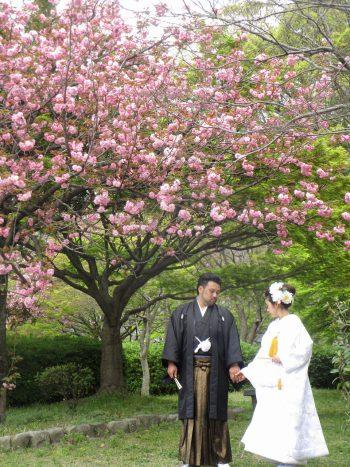 舞鶴公園の桜の下で白打掛 結婚式